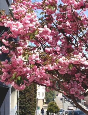 cherry blossom sf cover