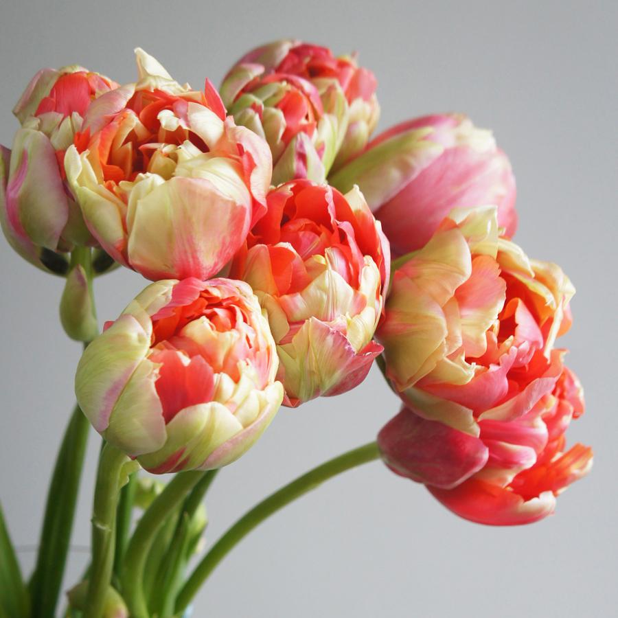 FlowerMuse-Tulips